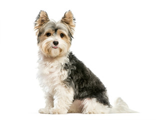 Biewer Yorkshire Terrier, 3 years old, sitting in front of white