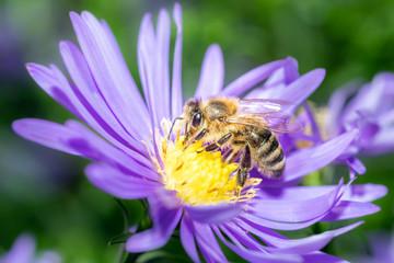 Western honeybee - Apis mellifera - collecting pollen on an aster