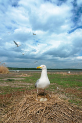 Caspian Gull on nest