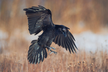 Common raven in flight. Corvus corax