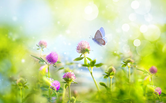 Wild flowers of clover and butterfly in a meadow in nature in rays of sunlight in summer in spring close-up of a macro. A picturesque colorful artistic image with a soft focus.