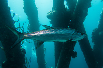 A single Atlantic Tarpon (megalops atlanticus) swimming below the pillars of the Salt Pier on the tropical island Bonaire in the Caribbean