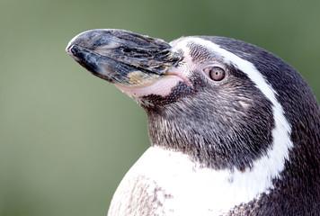 Pinguin in captivity