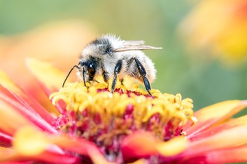 Davies' Colletes - Wild bee - Colletes daviesanus pollinates a blossom