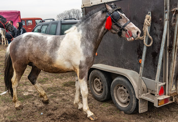 Ruma, Serbia - March 03, 2019: a horse tied to a truck at the animal fair