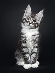 Cute silver black tabby Maine Coon cat kitten, sitting up facing front. Looking curious at camera with tilted head and brown eyes. Isolated on black background.