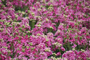 Printed roller blinds Lilac Blur Photo of Pink Flower Meadow in Spring