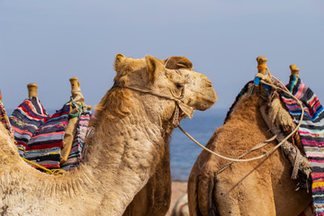 Head of the dromedary from the Sinai Peninsula. Arabian camel (Camelus dromedarius). The animal is used by Bedouins as beast of burden to transport tourist through the desert sand dunes.