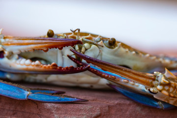 Callinectes sapidus, the Atlantic blue crab, or regionally as the Chesapeake blue crab.