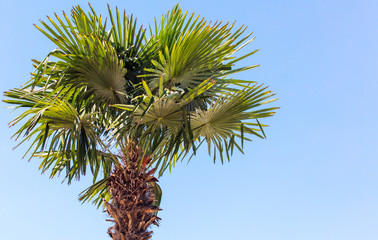Palm tree against the blue sky. Subtropical climate