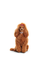 Groomed red poodle with a sparkly collar and a bow on her head