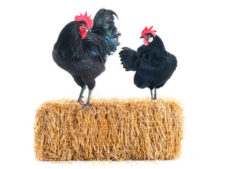 black hen and rooster stand in hay