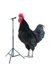 black rooster sings on a white