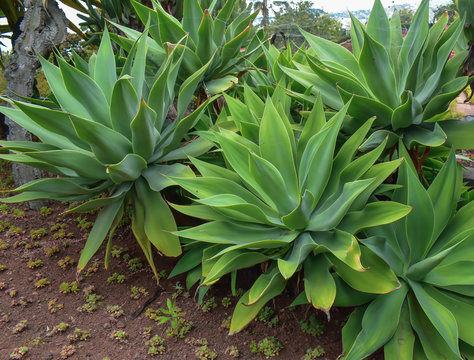 Agave attenuata with big green leaves. Taken in Madeira.
