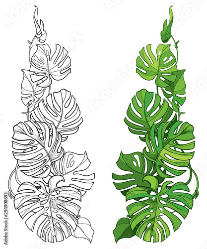 Set with outline tropical Monstera or Swiss cheese plant leaf bunch