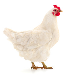Photo sur Plexiglas Poules White hen isolated.