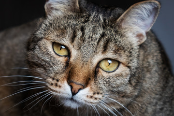 Muzzle striped cat with green eyes close-up