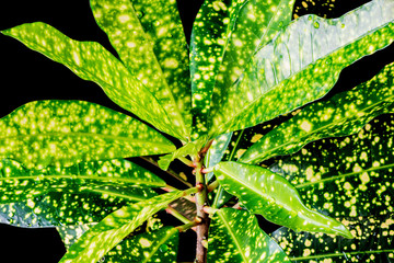 Leaves of the fresh croton flower. Domestic flower.