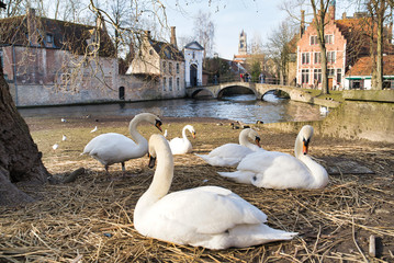 BRUGES, BELGIUM - FEBRUARY 17, 2019: Swans on the city canal, city buildings