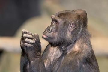 Adult female western lowland gorilla closeup portrait