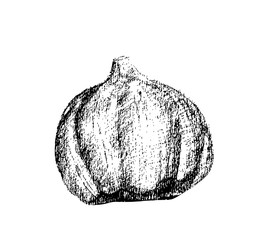 Ink sketch of garlic isolated on white background. Vector illustration.
