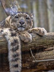 Portrait of sitting Female Snow Leopard, Uncia uncia