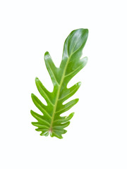 Xanadu or Philodendron leaf isolated on white background included clipping path.