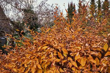 Orangen-Goldener Busch mit trockenen Blättern, Herbst
