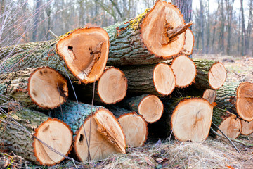 deforestation for the production of furniture, felled and chopped trunks sorted depending on the type of wood