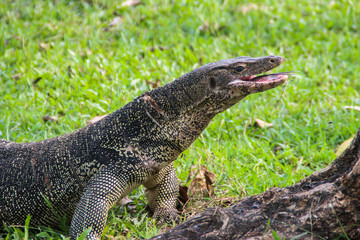 A large scaled monitor lizard in a park in Thailand is hunting on the grass. Wild Animals of Asia