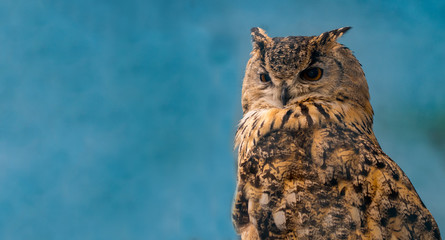 beautiful eagle owl on blue background with copy space Fototapete