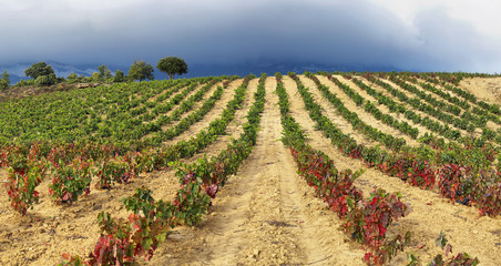 Autumn vineyards near LaGuardia, Dpain