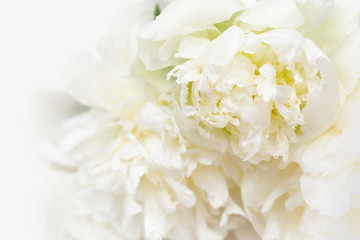 Floral background, close up picture of tender yellow white peonies. Soft selective focus.