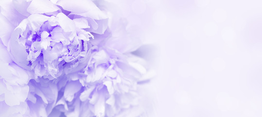Petals of flowers peony close up. Gentle natural background or banner. Proton purple, color trend of year 2019. Soft selective focus.