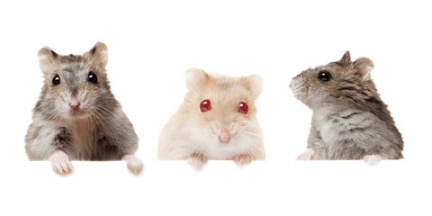 Small domestic young hamsters isolated on white.