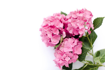 Bouquet hydrangea isolated on white background. Pink flowers hortensia are blooming in spring and summer.