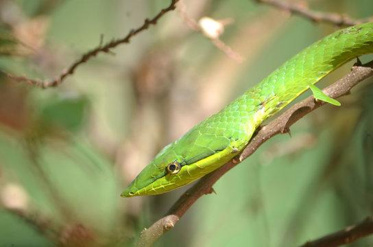 Serpiente Bejuquilla Verde