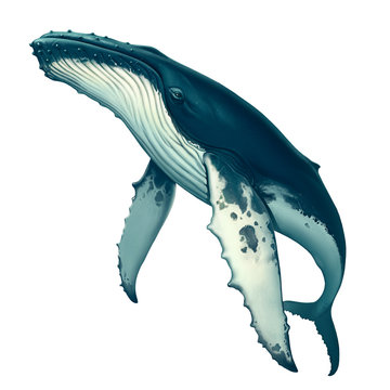 Humpback whale. Big gray whale on a white background. Blue whale in the open sea swims to the top.