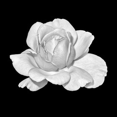 Monochrome fine art still life bright macro portrait image of a single isolated white rose blossom, black background,detailed texture,vintage painting style