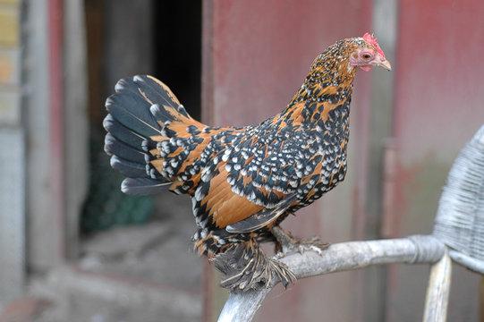 lustiges Huhn auf der STange