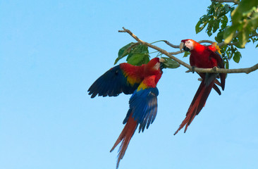 Two scarlet macaws are screaming at each other after one knocked the other off a tree branch