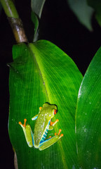 In a dark night a Red-Eyed Tree Frog climbs to the middle of a large plant leaf