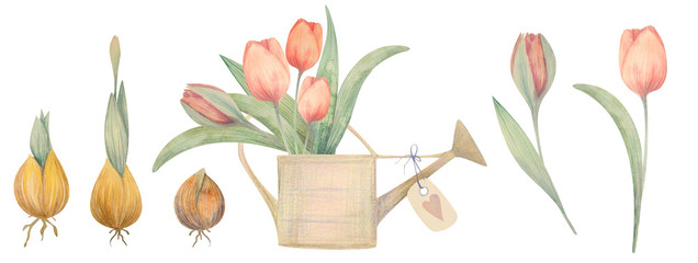 Watercolor hand drawn spring set with tulips. Planting flowers.