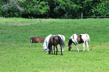 Four Horses in the Pasture