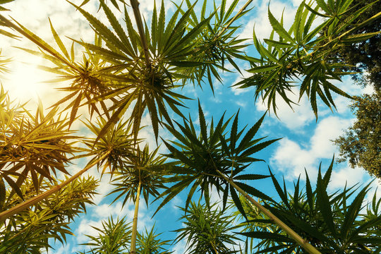 Cannabis - Marijuana Plants on Field with Sun and Blue Sky