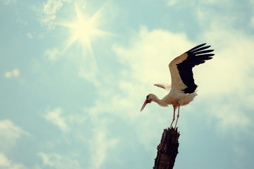 Stork Bird with Spread Wings with Clouds and Sun on Background