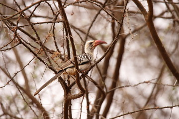 Red-billed Hornbill in a scrub in Kenya