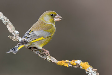 Fototapeta The European greenfinch (Chloris chloris) or common greenfinch is a songbird of the order of the Passeriformes and the family Fringillidae. obraz