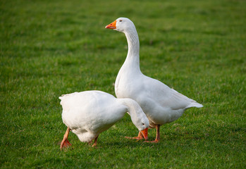 couple of white house gooses at green meadow