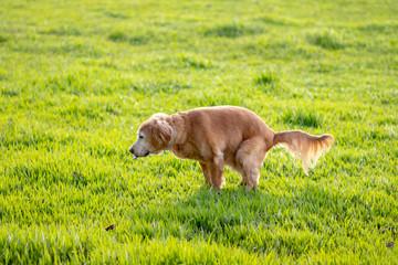 Golden Retriever indo ao banheiro, pooping